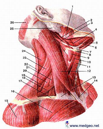 კისრის კუნთები
