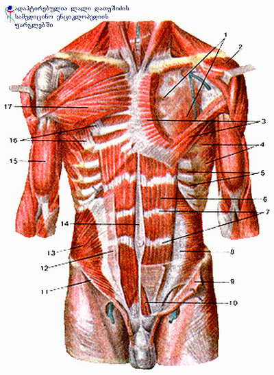გულმკერდის კუნთები