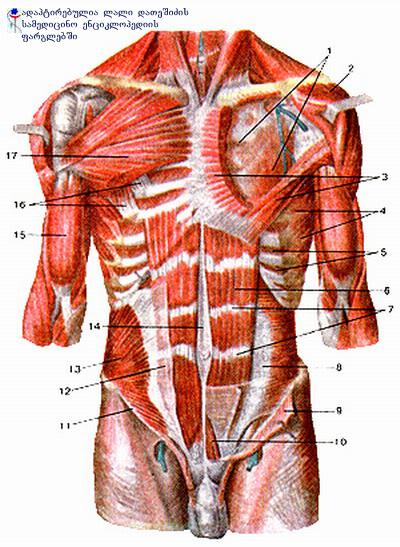 მუცლის კუნთები