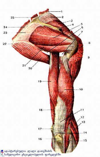 ზემო კიდურის კუნთები