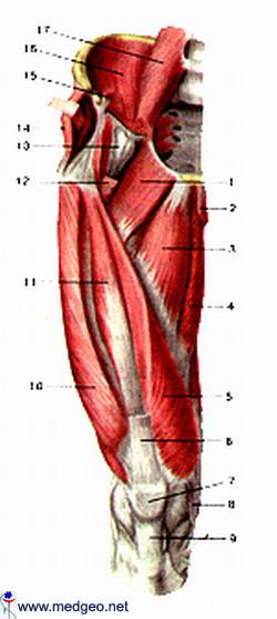 მენჯის კუნთები