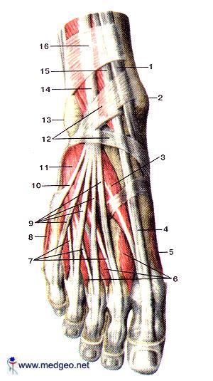 ტერფის კუნთები