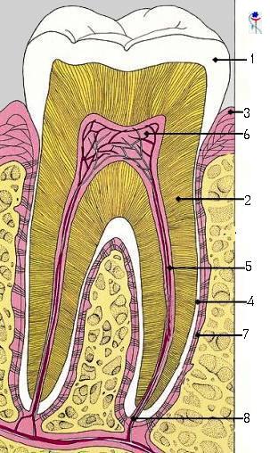 კბილი