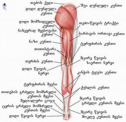 ქვემო კიდურის კუნთები