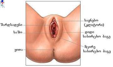 ქალის გარეთა სასქესო ორგანოები