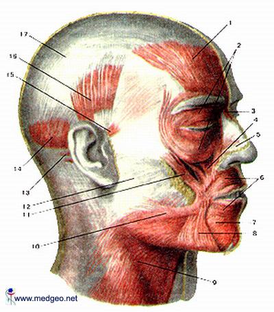 მიმიკური კუნთები